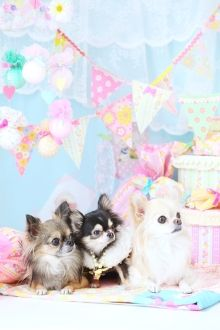 Chihuahua Birthday Party Just For Rick! |Chi-i Pure Dream