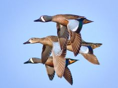 Blue-winged Teal Flock Blue Winged Teal, Duck Hunting, Art Reference, Wildlife, Wings, Bird, Taxidermy, Ducks, Animals