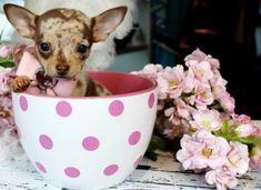 ♥♥♥ Chocolate Merle Chihuahua! ♥♥♥ Bring This Perfect Baby Home Today! Call 954-353-7864 www.TeacupPuppies... ♥ ♥ ♥ TeacupPuppiesStore - Teacup Puppies Store Tea Cup