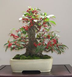 Japanese Holly (Ilex Serrata) with moss. BONSAI TREES : More At FOSTERGINGER @ Pinterest