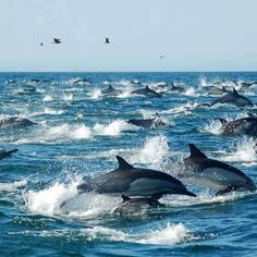 I have NEVER seen this many dolphins together playing! How Dolphins Delight me!