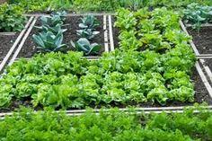 Petite lettuce in a petite garden plot using biointensive planting recommendations.