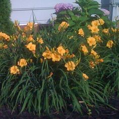 Stella D'Oro Day Lilies