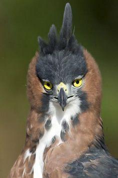 This guy looks like a Don Juan if I ever saw one!!  LOL  Ornate Hawk-Eagle (Spizaetus ornatus)