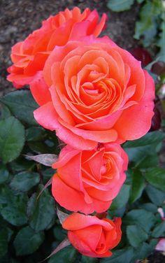 'Smoothie' | Hybrid Tea Rose. Fryer's Roses 2009