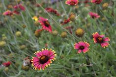 Red Indian blankets with yellow-tips growing in the grass. Plant Covers, Indian Blankets, Central Texas, A 17, Red Indian, Grass, Backyard, Landscape, Tips