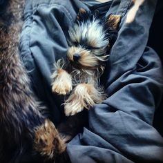 Zoey is a Yorkie puppy and aklsjhtrfdfkrjlgralkj. Yorkie Puppy For Sale, Puppies For Sale, Yorkie Puppies, Yorkie Haircuts, Yorky, Cutest Dog Ever, Yorkshire Terrier Puppies, Cute Photos, Mans Best Friend