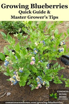 Growing Blueberries - Quick Guide and Master Grower's Tips How to grow blueberries in the garden plus detailed information to help you plant blueberries and produce your best blueberry harvest ever. Fruit Garden, Garden Soil, Garden Care, Edible Garden, Lawn And Garden, Vegetable Garden, Garden Plants, Garden Landscaping, Landscaping Borders