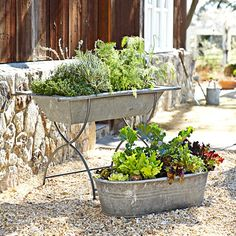 Vintage Galvanized Bathtub Planter - good for fall and winter gardens in texas
