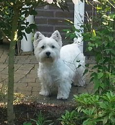 ~ HANDSOME ADULT WESTIE ~