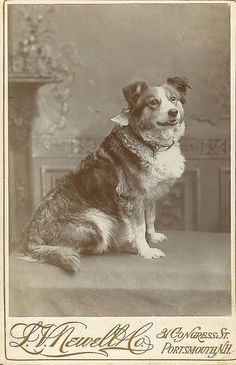 Antique photo of a border collie.