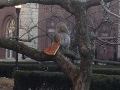 HA!  No doubt thats a New York City squirrel... what a fatty :)