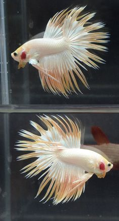 Archived Auction # - Platinum Yellow CT Male - Ended: Wed Aug 27 2014 Tropical Freshwater Fish, Freshwater Aquarium, Tropical Fish, Aquarium Fish, Aquariums, Betta Fish Types, Beta Fish, Siamese Fighting Fish, Underwater Life