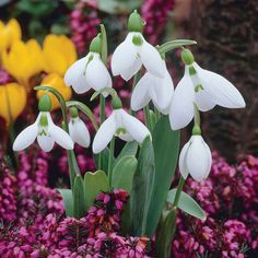 Snowdrop (Giant) - Other Flower Bulbs & Tubers - Thompson & Morgan