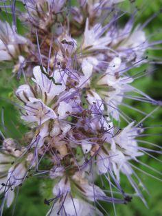 Фацелия пижмолистная или рябинколистная (или фиолетовая пижма) – однолетнее садовое растение, выращиваемое как медонос, покровное и сидерат. Во время цветения имеет чрезвычайно декоративный вид. Название род получил от греческого слова «phakelos», что переводится как «пучок» — именно пучком собраны цветки в соцветии фацелии.