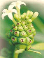 we have a commitment that ensures the purity of the noni grown on the farm in Kauai, no preservatives or additives of any kind. The 100% support for organic farming and a raw food lifestyle has lead farmers Steve Frailey and Scott Jarvis to ensure that their products are certified and in compliance of all organic and raw food guidelines.
