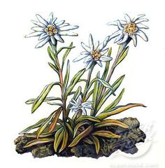 Edelweiss Grouping Painting Inspirations Pinterest