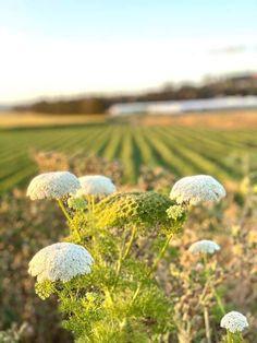 Calander, Dandelion, Flowers, Plants, Dandelions, Plant, Taraxacum Officinale, Royal Icing Flowers, Flower