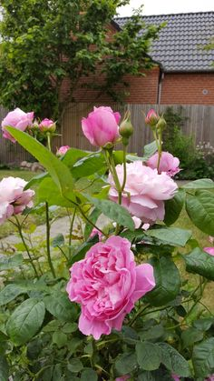 Austin: Mary Rose, lots of flowers by 8/6-16