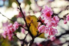 Flor de Cerejeira - Bairro da Liberdade - SP