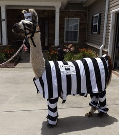 Llama Twist wearing a costume I made for the llama costume contest at the state fair.