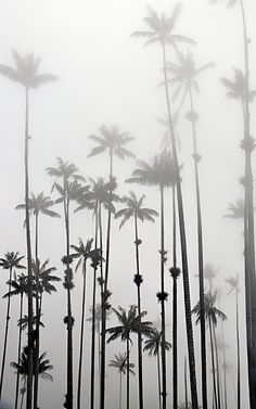 The World's Tallest Palm Tree: The Wax Palm (Palma de Cera) in Valle de Cocora, Colombia Palm Tattoos, Tropical Art, Bedroom Art, Paint Designs, Palm Trees, Flora, Painting, Deco, World