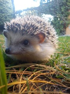 Secrets and tips about the caring of a hedgehog. How to teach others about a Hedgehog.