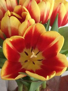 An opened tulip, so pretty.