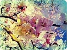 ❀I love cherry blossoms ❀