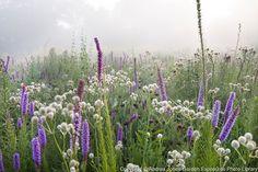 Eryngium yuccifolium and Liatris in the Prairie Meadow<br /> <br /> <br /> <br /> photography © Andrea Jones