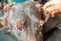 Equipe de resgate fica chocada ao ver cadela infestada com mais de mil carrapatos