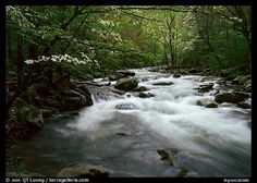 Stream with rapids and dogwoods in spring, Treemont, Tennessee. Great Smoky Mountains National Park, USA.