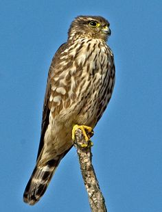 Adult female Coopers Hawk