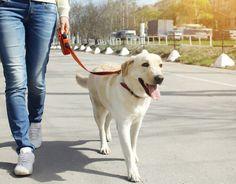 Salir a la calle con tu mascota puede tornarse una pesadilla. Te contamos las medidas que debes poner en práctica para pasear a tu perro sin inconvenientes.