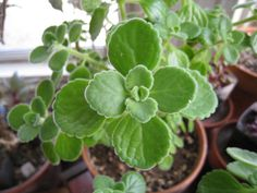 Plectranthus amboinicus (Cuban Oregano) is an attractive, evergreen, perennial plant up to feet m) tall, with lemon-scented, thick. Rare Succulents, Succulent Pots, Rare Plants, Exotic Plants, Oregano Plant, Herbs For Health, Variegated Plants, Backyard Garden Design, Potting Soil