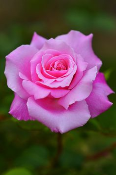 Beautiful Flowers Pictures, Beautiful Flowers Wallpapers, Rose Pictures, Amazing Flowers, Beautiful Roses, Pretty Flowers, Flower Backgrounds, Flower Wallpaper, Purple Roses