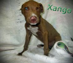 Wiggle Butt!! Xango and his sister Xena were seized by AC for being tied out on a short leash with no shelter in the brutal heat! Xango is VERY underweight at 10lbs. He is a pitt mix born ~3/23/12. Number: #121369