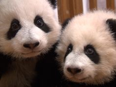 Check out these adorable pandas