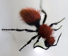 Velvet Ant. a.k.a. Cow Killer Ant --Really a female Wasp -- stung my Yorkie @ 5:30a.m., he was so sick, quick trip to the emergency vet and an antihistamine shot and he recovered quickly -- so sick, so scared