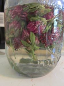 Red Clover tincture, red clover for help with PMS, hot flashes, lowering cholesterol, breast enhancement and breast health