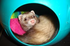 Pester napping in her ball with her new quilted pillow.  2011