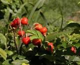 All roses should produce hips, although rugosa roses are said to have the best tasting hips. These are also generally the largest and most abundant.