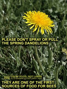 Save the bees! Dandelions.