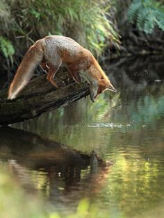 Fox observing its reflection in the water