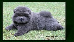 chow chows puppies - blue rough