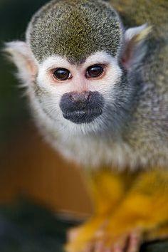 Squirrel Monkey by Tambako the Jaguar