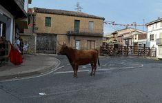 Santacara: Vacas Hermanos Ganuza de Artajona - (3) Cows, Siblings, Fiestas