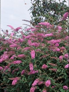 "Buddleia (""bud-LAY-uh"") 'Pink Delight', or commonly known as Butterfly Bush or Summer Lilac. We have one of these, and LOVE it! Butterflies love it, too!"