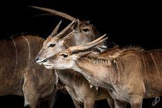 Elands  - Parque de la naturaleza de #Cabarceno #Cantabria #Spain