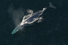 A 15-year analysis of the movements of satellite-tagged blue whales off the coast of California strongly suggest a conflict with shipping lanes.